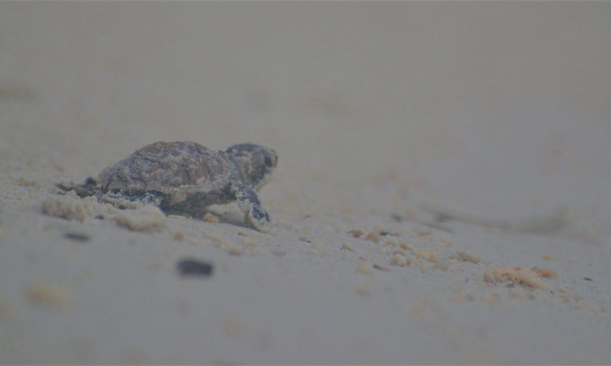 Turtle Tengah
